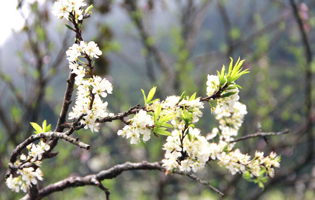 Tà Xùa - Mộc Châu 17-18/1 săn mây và ngắm hoa mận