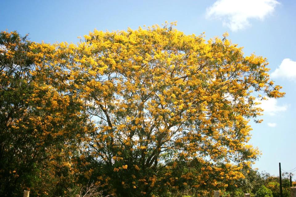 Ngất ngây trước rừng hoa muồng vàng rực ở Gia Lai